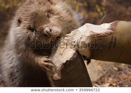 Beaver tree Stock photo © rbiedermann
