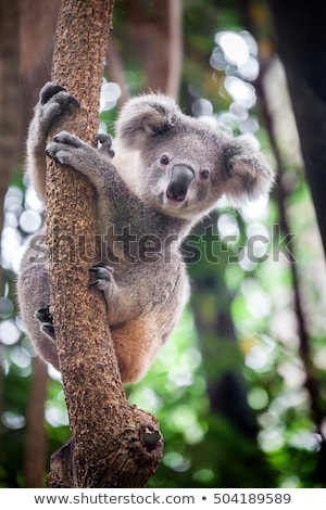 a wild koala climbing a tree stock photo © lucielang
