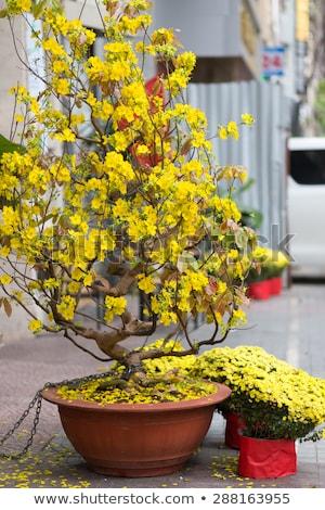 Hoa Mai tree in Saigon street Stock photo © smithore