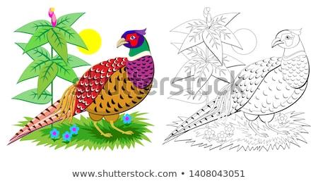 Pheasant, Color Illustration Stock photo © Morphart