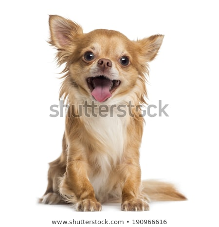 chihuahua on white sitting Stock photo © DNF-Style
