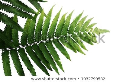 Eğreltiotu yaprak detay yalıtılmış beyaz doku Stok fotoğraf © homydesign