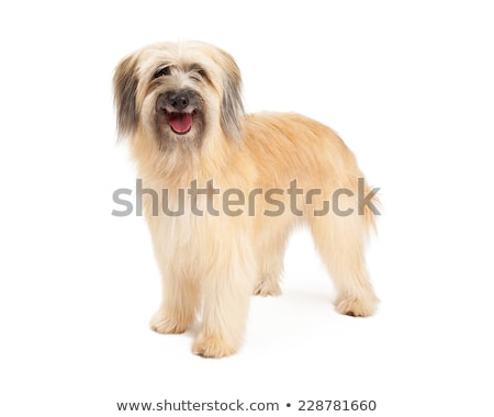 Pasteur studio blanche chien animal fourrures Photo stock © cynoclub