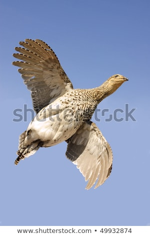 Sharptailed Grouse in Flight  Stock photo © pictureguy