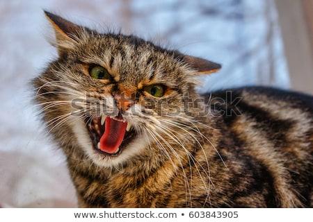 Kat aanval klauw scratch woorden boos Stockfoto © Tawng
