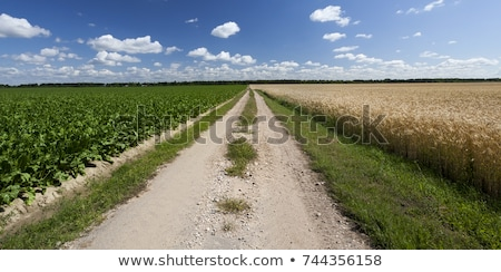 wheat field and sugar beet Stock photo © artjazz