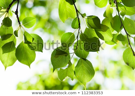 green leaves, shallow focus  Stock photo © rufous