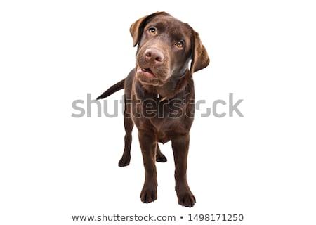 Csinos barna labrador retriever tél erdő csokoládé Stock fotó © dariazu