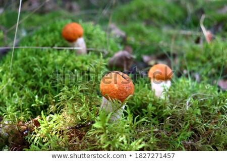 Három kicsi moha erdő gombák növekvő Stock fotó © romvo