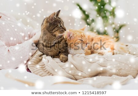 close up of owner with tabby cat in bed over snow Stock photo © dolgachov