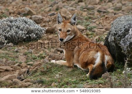 ethiopian wolf, Canis simensis, Ethiopia Stock photo © artush