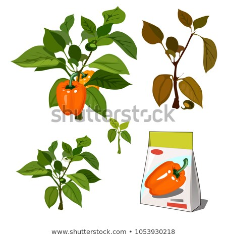 Set of stages of life of a agricultural plant sweet bell peppers isolated on white background. Paper Stock photo © Lady-Luck