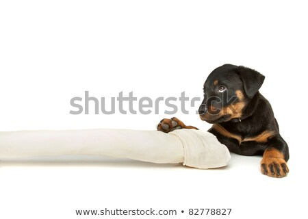 Сток-фото: Rottweiler Puppy With A Huge White Bone