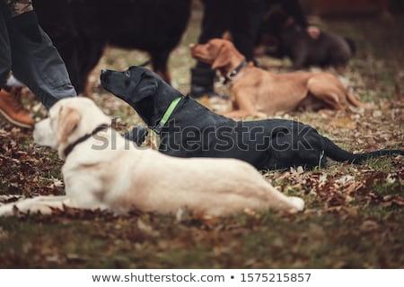 服従 · 訓練 · 茶色の犬 · 髪 · 青 - ストックフォト © ivonnewierink