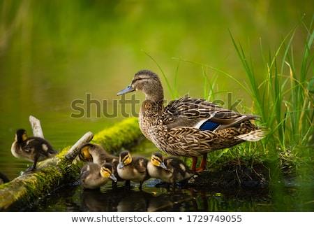 ördek yavrusu yeme çim Paskalya bahar bebek Stok fotoğraf © guffoto