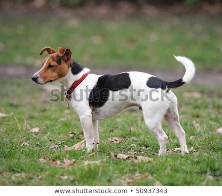 Preto terrier cão fora língua Foto stock © eriklam
