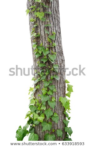 Tree trunk with ivy Stock photo © franky242