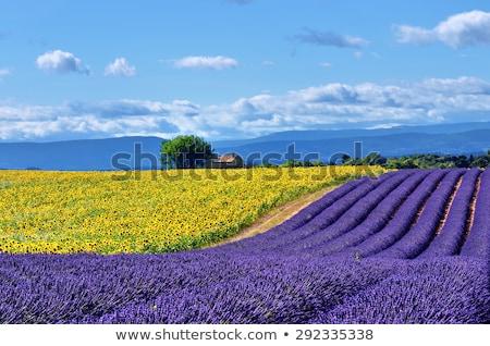 lavanda · girassol · campos · França · paisagem · verão - foto stock © phbcz