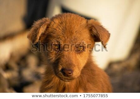 triest · ogen · zwarte · weinig · puppy · hond - stockfoto © feedough