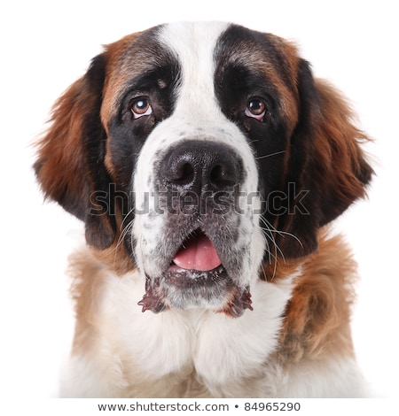 adorable saint bernard pups stock photo © tobkatrina