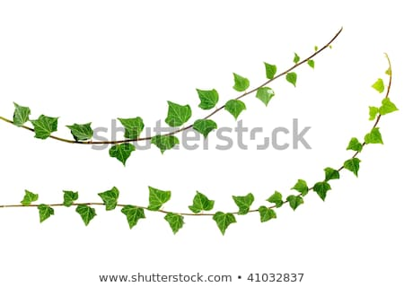 Stock photo: two ivy branches