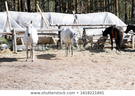 grey foal on pasture farm scene Stock photo © goce