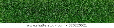 Verde hera parede textura vegetação exuberante crescente Foto stock © Lightsource