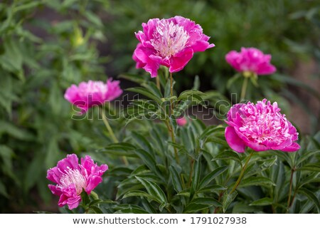 The bush of pink peonies grows in a decorative garden Stock photo © vavlt