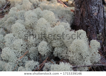 Background of Cladonia stellaris lichen Stock photo © tainasohlman