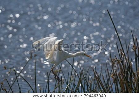 Cattle Egret in the wind Stock photo © davemontreuil