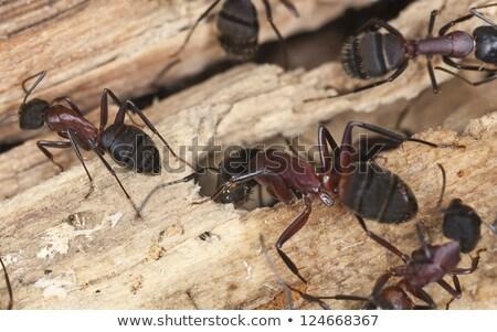 Carpinteiro formigas químico comunicação inseto Foto stock © Stocksnapper