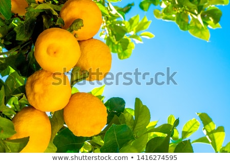 lemon tree branch with leaves on blue sky stock photo © artush