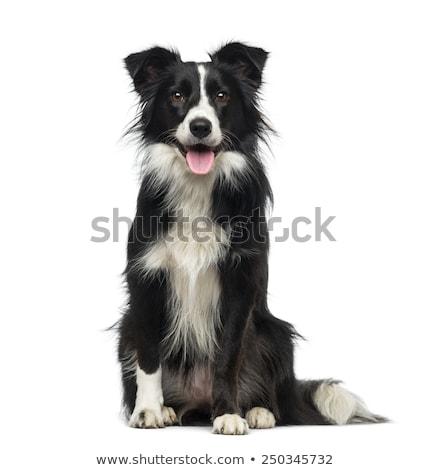 Border collie beyaz siyah atlama bar köpek Stok fotoğraf © bigandt