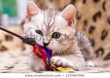 macska · szürke · izolált · fehér - stock fotó © filipw
