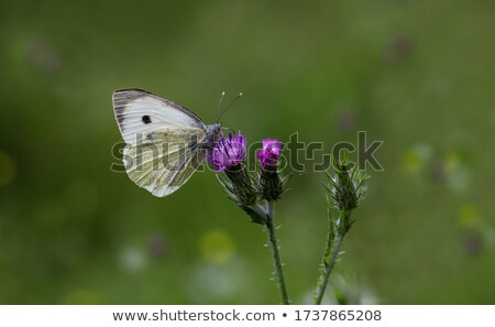 Pieris Brassicae in a green garden stock photo © Sportactive