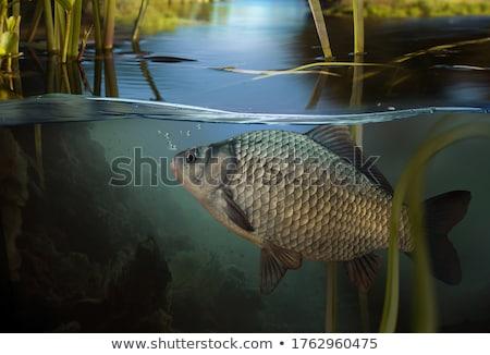 Carpa grupo naturales agua piscina Foto stock © jonnysek