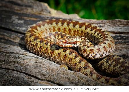 Európai közelkép természet nyár kígyó állat Stock fotó © igabriela