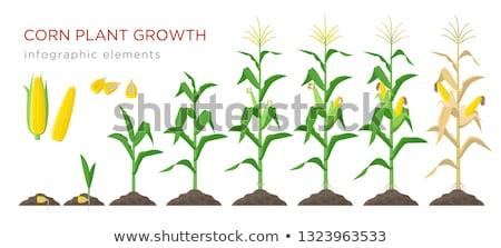 Maize ear on stalk in corn field Stock photo © stevanovicigor