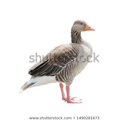 Pink footed Goose Stock photo © chris2766