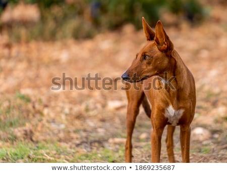 mix Podenco dog Stock photo © eriklam