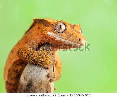 геккон · оранжевый · листва · лице · ящерицы · ПЭТ - Сток-фото © jeffmcgraw