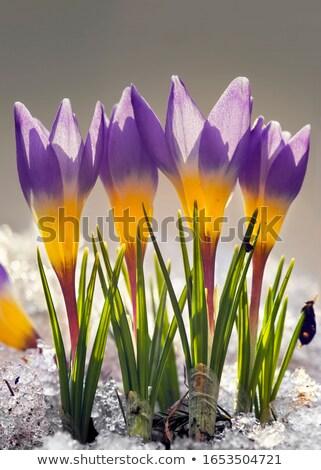 açafrão · flor · branco · páscoa · primavera - foto stock © smuki
