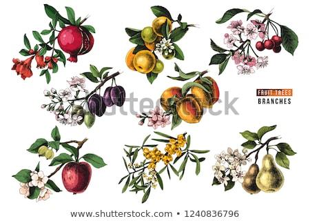 Stockfoto: Vruchten · bloemen · collectie · druif · appel · kers