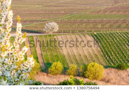 Voorjaar wijngaard Tsjechische Republiek landschap achtergrond Stockfoto © phbcz