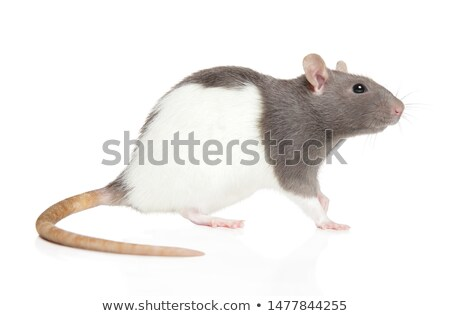 Gray rat on white background stock photo © bluering