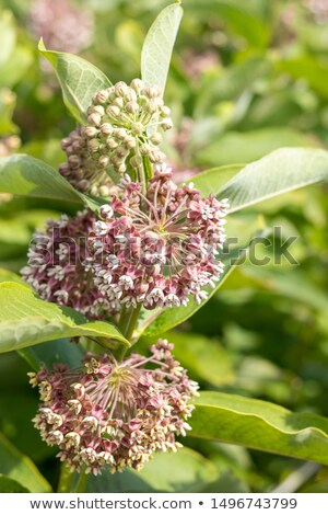 Blooming cultivate swamp Buddleja stock photo © artsvitlyna