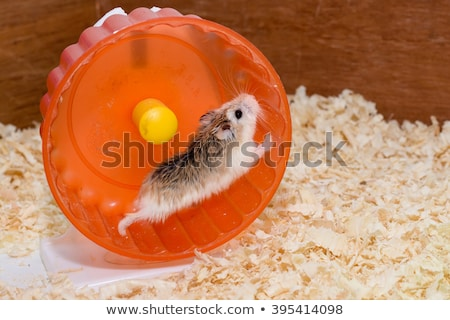 hamster in wheel. Cute pet on white background. Home rodent Stock photo © popaukropa