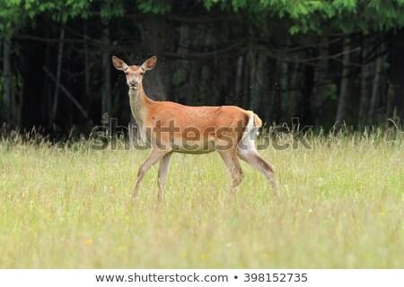 red deer hind closeup stock photo © taviphoto