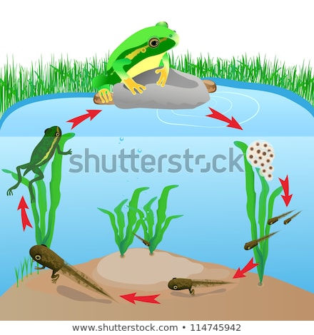 Green tree frog life cycle Stock photo © bluering