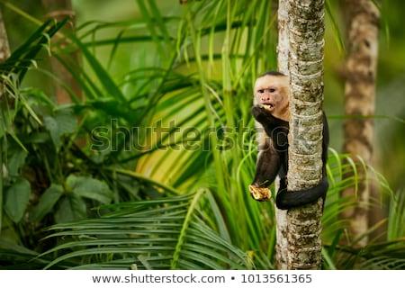 Scimmia albero Costarica faccia natura giungla Foto d'archivio © Lopolo